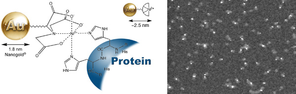 [Ni-NTA-Nanogold structure and STEM (48k)]