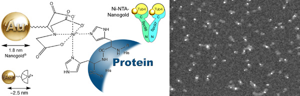 [Ni-NTA-Nanogold binds to gamma-tubulin (52k)]
