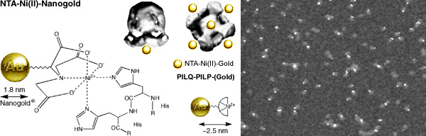 ]NTA-Ni(II)-Nanogold structure and labeling of the PILQ-PILP complex (56k)]